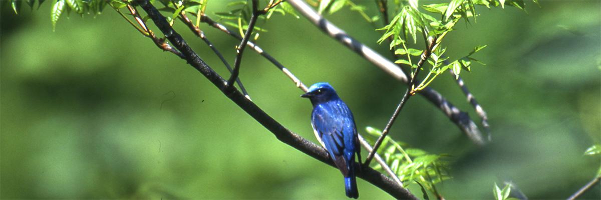 県鳥 「おおるり」